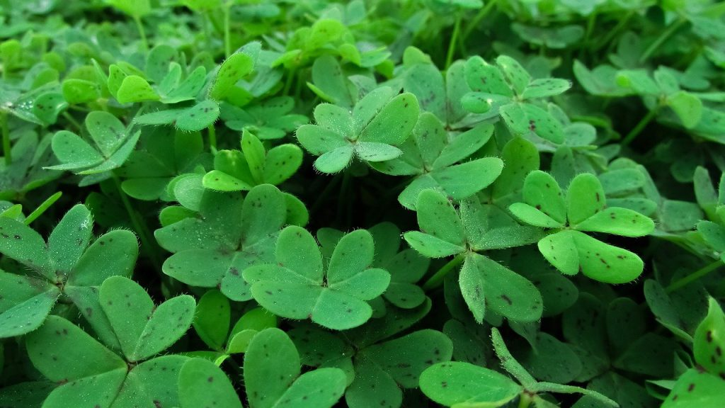 How To Divide A Shamrock Plant In 5 Easy Steps