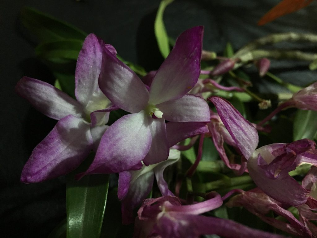 How Do I Know If My Orchid is Dead: 3 Signs to Look Out For
