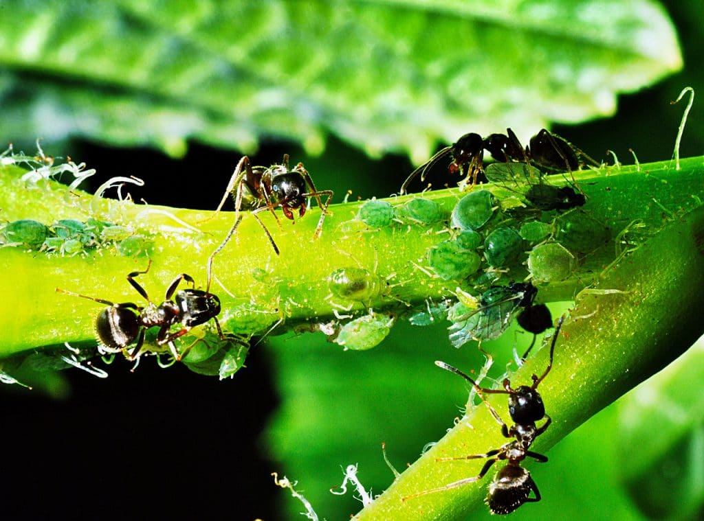 How to Get Rid of Aphids in Your Greenhouse