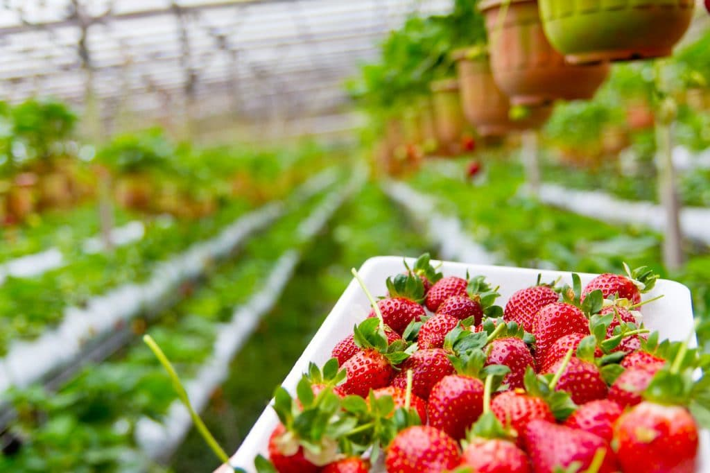 How Long Does It Take For Strawberries To Grow In Hydroponics