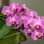 How To Reproduce Phalaenopsis Orchids Using 3 Simple Techniques