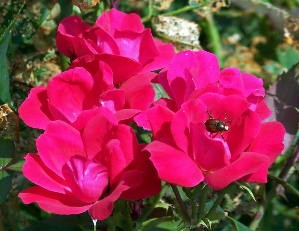 How To Get Rid Of Thrips On Roses The Best Way