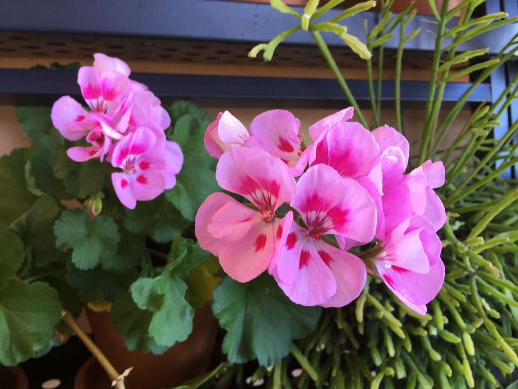 How To Fertilize Geraniums Successfully