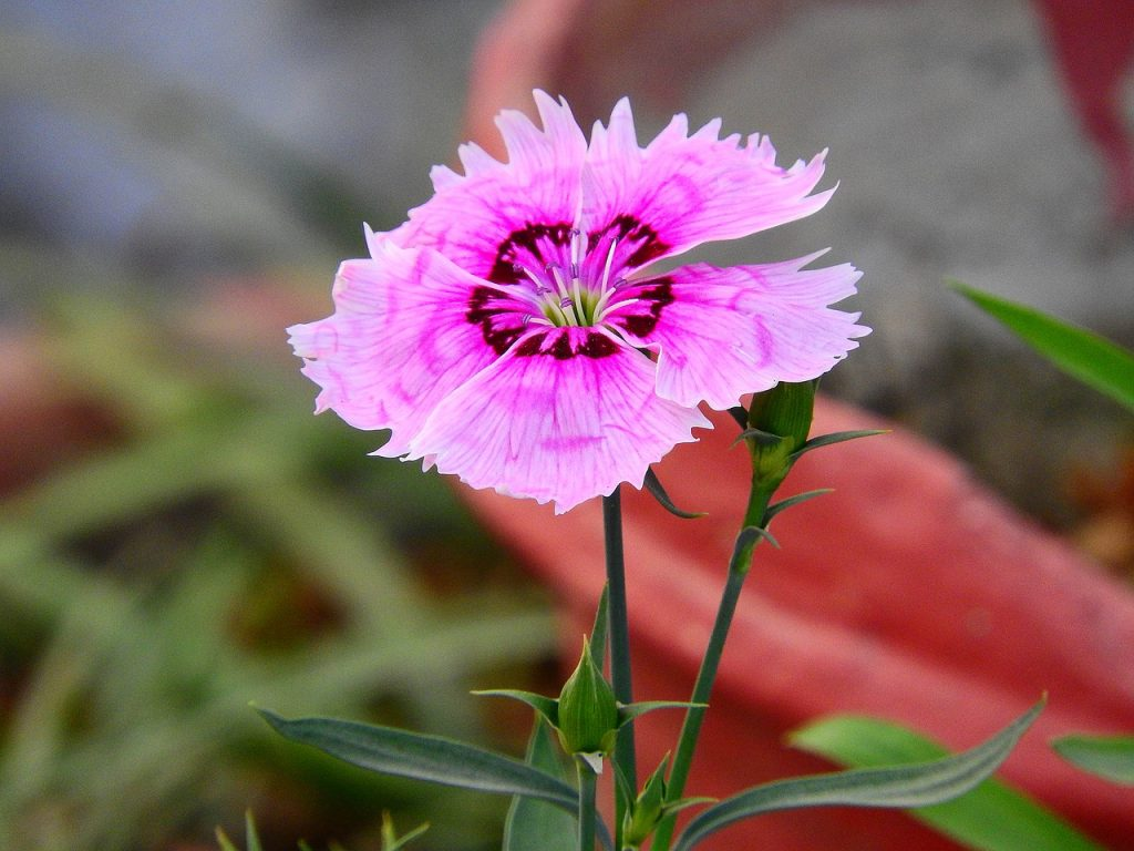 How To Grow Dianthus In Pots In 2 Easy Steps