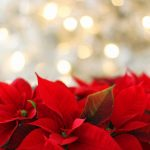 How To Grow Poinsettia Plants From Cuttings