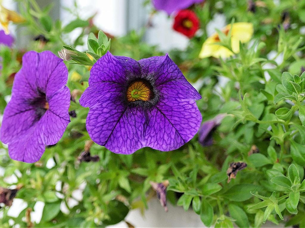 How to Grow Calibrachoa Best Way