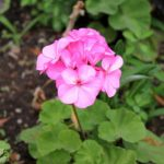 How to Start Geranium Cuttings: Tips and Advice