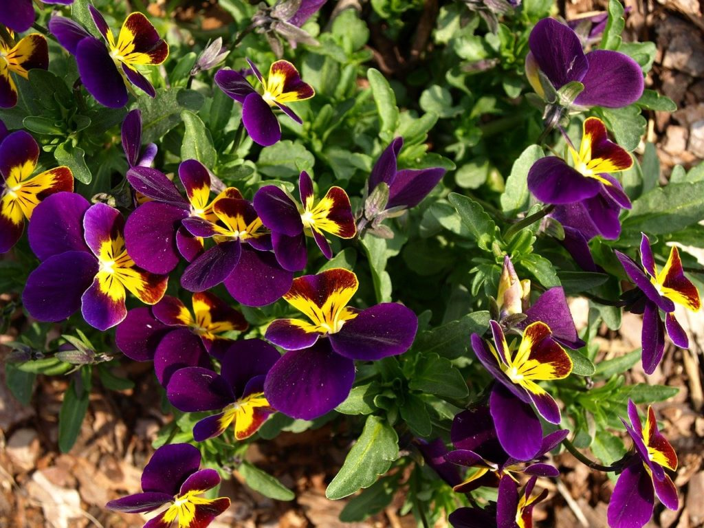 How To Propagate Pansies The 3 Best Ways