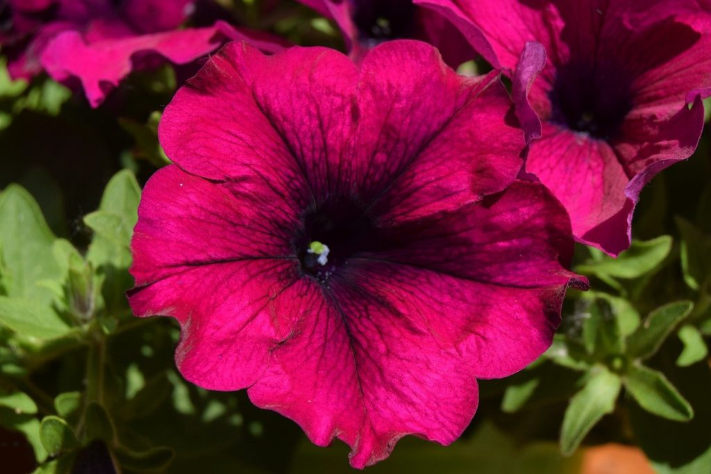 How To Collect Petunia Seeds In 3 Easy Steps