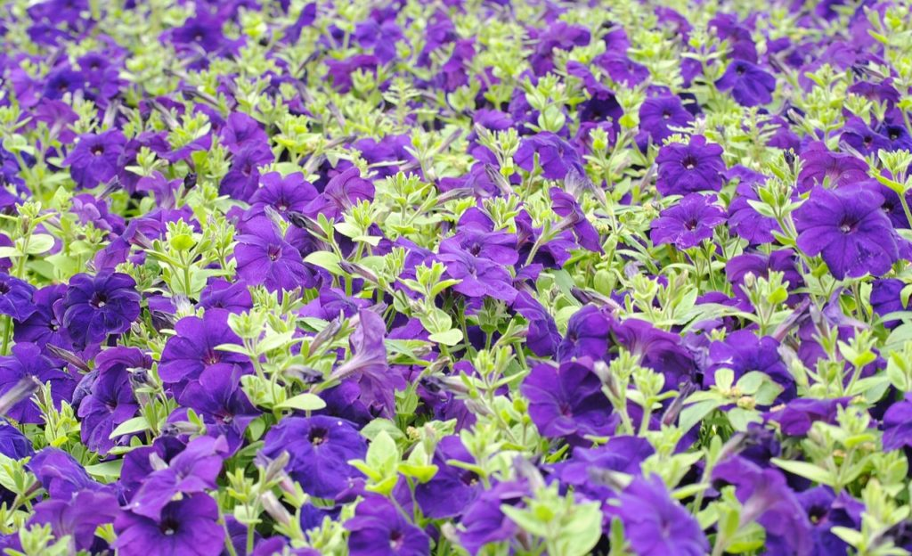 How To Trim Petunias. The Best Guide