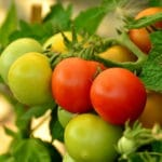 How to Breed Tomatoes. 5 Useful Tips to Follow