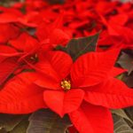 How to Grow Poinsettias from Cuttings. 3 Easy Steps
