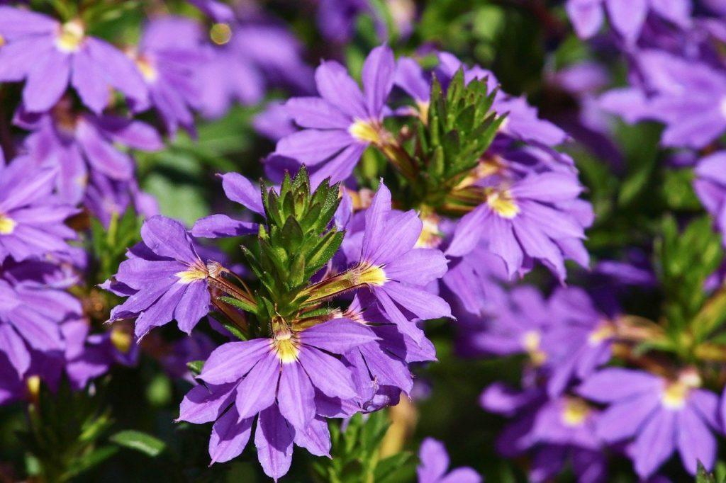 https://pixabay.com/photos/fan-flower-blue-scaevola-aemula-3667980/