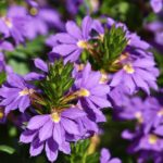 Need-to-Know Facts on How to Care for Scaevola
