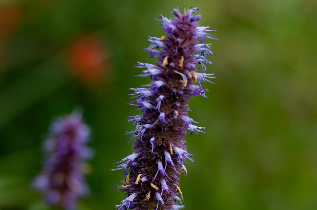 How To Grow Agastache Ultimate Guide