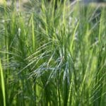 How To Separate Ornamental Grasses In 2 Easy Steps