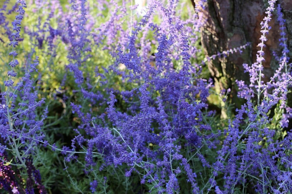 How To Propagate Russian Sage. 2 Best Ways