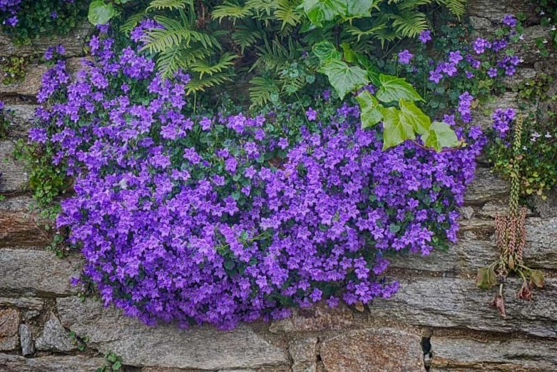 How to Grow Campanula: 6 Helpful Tips