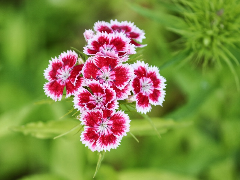 How to Deadhead Dianthus: 5 Steps You Need to Know