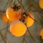How to Prune Persimmons: 6 Practical Tips