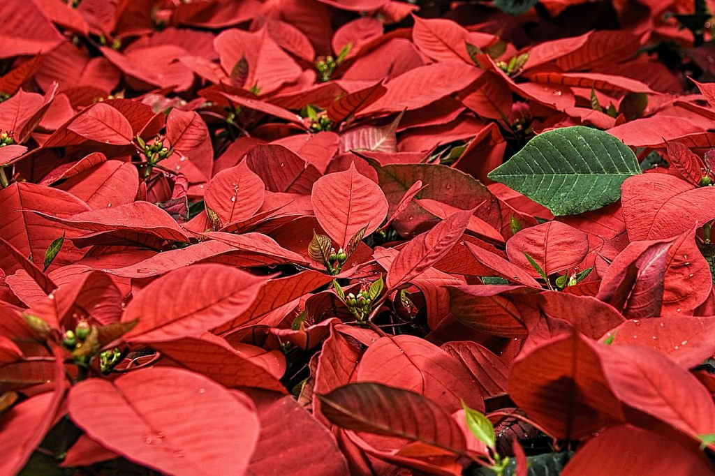 How to Turn a Poinsettia Red
