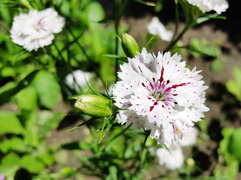 How To Propagate Dianthus. 3 Best Ways