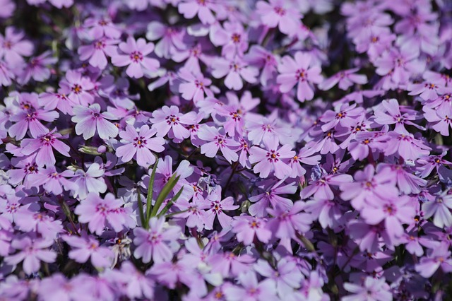 How To Propagate Creeping Phlox. Best 2 Ways