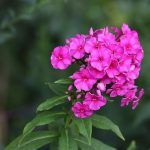 How To Propagate Phlox The Best Way