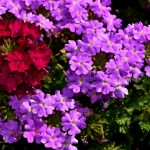 How to Trim Verbena: The Basics