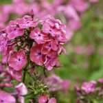 How To Deadhead Phlox Successfully