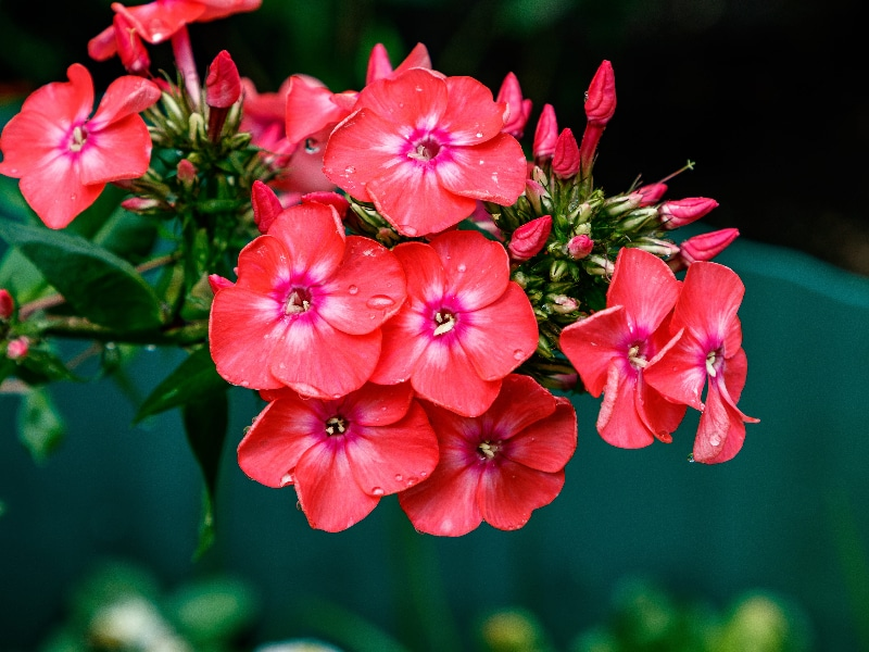 How To Grow Phlox From Cuttings Successfully