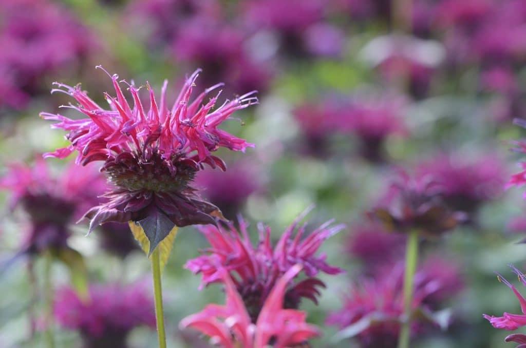 How To Propagate Bee Balm. 3 Best Ways