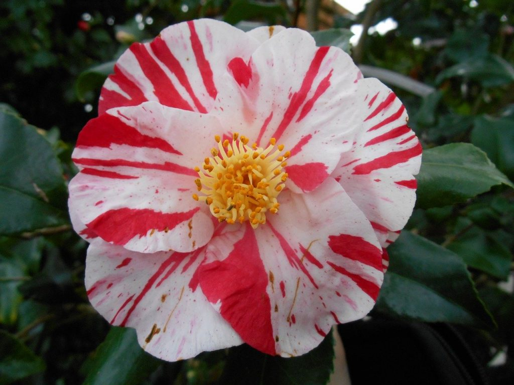 How to Root Camellias from Cuttings: A Step-by-Step Guide