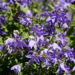 How To Deadhead Campanula Successfully