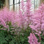 How To Propagate Astilbe. 2 Best Methods