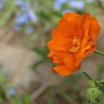 How To Grow Geum. 4 Factors For Success