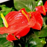 How To Get Anthurium To Bloom For Success