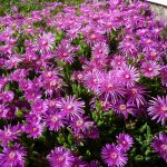 How To Grow Ice Plant From Cuttings. 2 Easy Steps