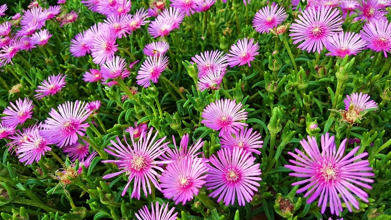 How to Propagate Ice Plants in 2 Simple Ways