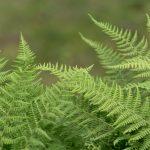 How To Split Ferns In 3 Easy Steps