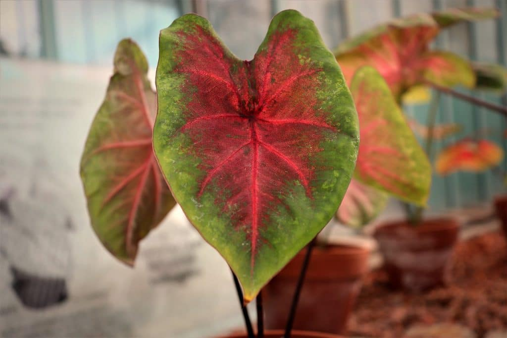 How To Propagate Caladium. The Best Method