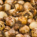 How Long Do Tulip Bulbs Last Unplanted
