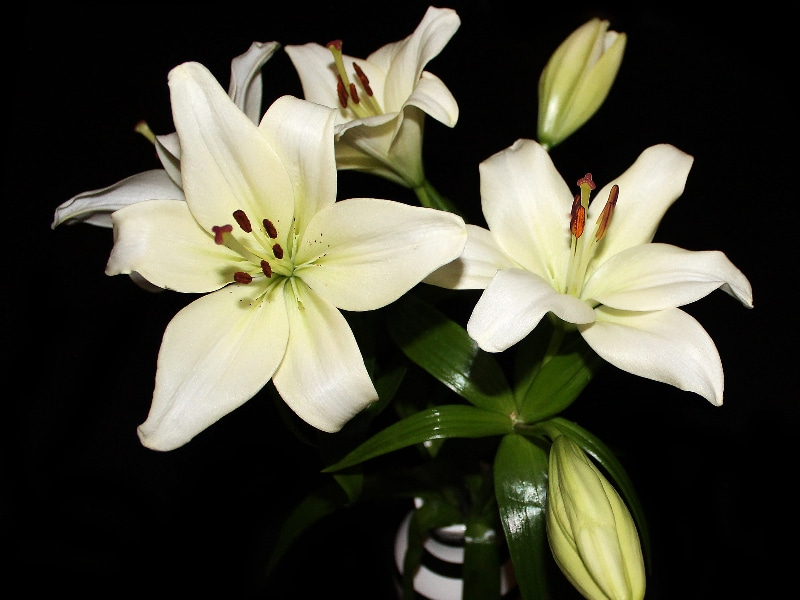 How Long Do Lilies Last in a Vase