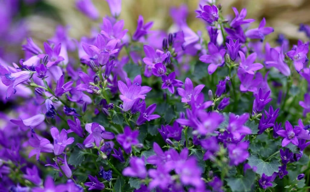 How To Prune Lobelia. The Best Guide