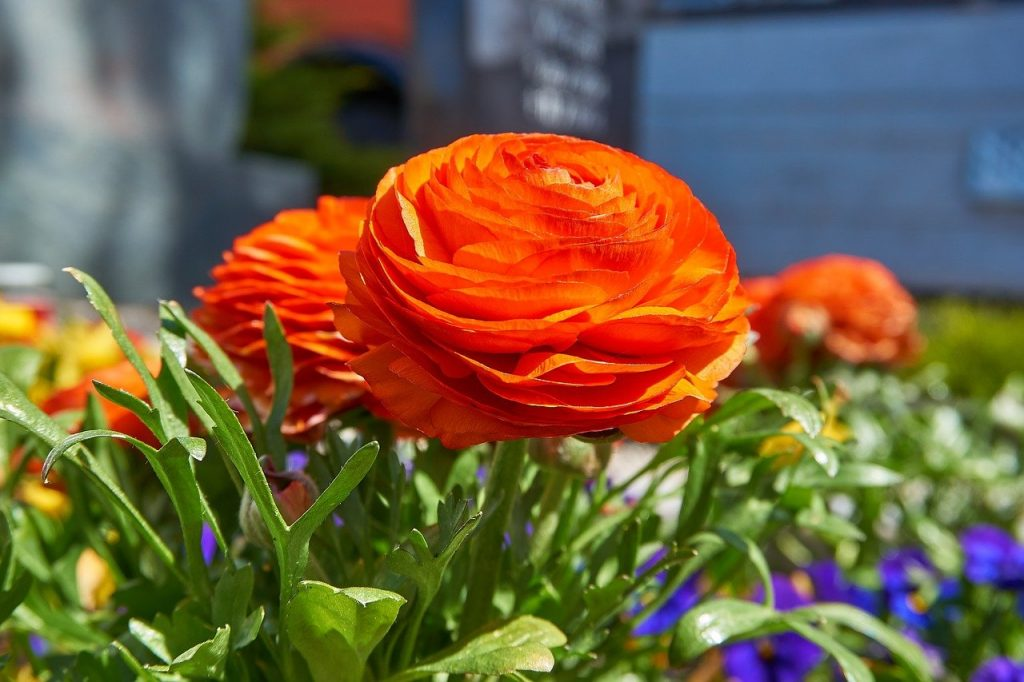 How To Plant Ranunculus Seeds In 2 Easy Steps