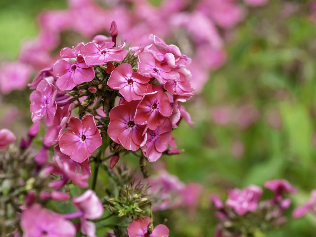 How To Prune Phlox. The Best Way