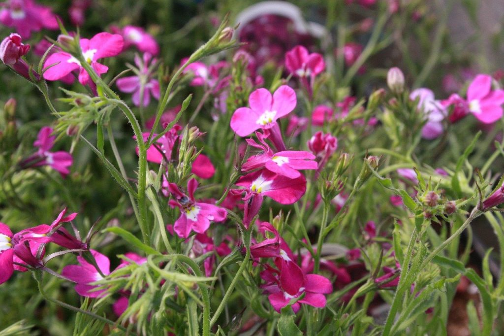How To Keep Lobelia Blooming All Summer