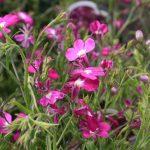 How To Keep Lobelia Blooming All Summer
