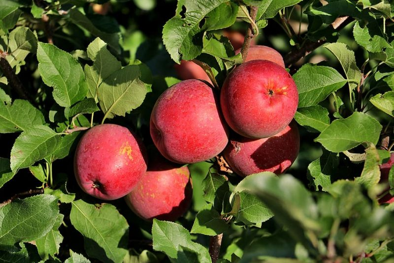 How To Start An Apple Orchard Business