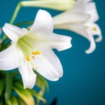 How Long Do Easter Lilies Last